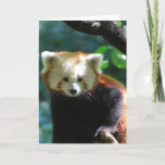 Adorable Red Panda  Greeting Card