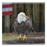 American Bald Eagle Perched on a Log Poster