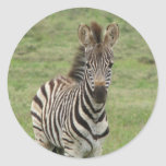 Baby Zebra Sticker