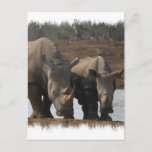 Black Rhinos Postcard