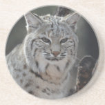 Creeping Bobcat Sandstone Coaster