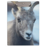 Face of a Bighorn Sheep Clipboard