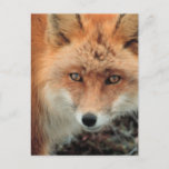 Fox Species Postcard