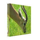 Gazelle Grazing Canvas print