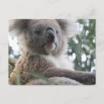Koala Bear Facts Postcard