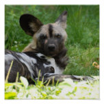 Lounging Wild Dog Poster