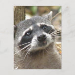 Masked Raccoon Postcard