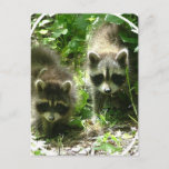 Raccoon Habitat Postcard