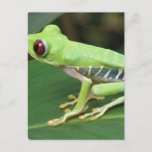 Red Eye Green Tree Frog Postcard