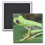 Red Eye Green Tree Frog Square Magnet