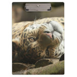 Resting Jaguar Clipboard