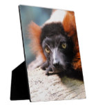 Resting Red Ruffed Lemur Plaque