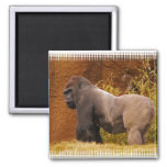 Silverback Gorilla Photo Magnet