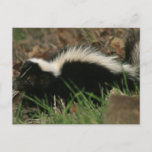 Skunk Behavior  Postcard