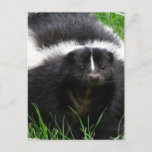 Skunk Photo Postcard