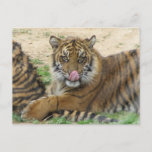 Tiger Cubs Postcard