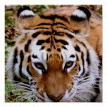 Tiger Markings  Poster Print