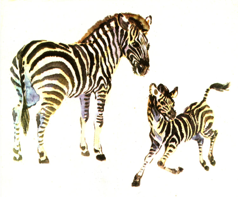 zebra baby clipart - photo #16