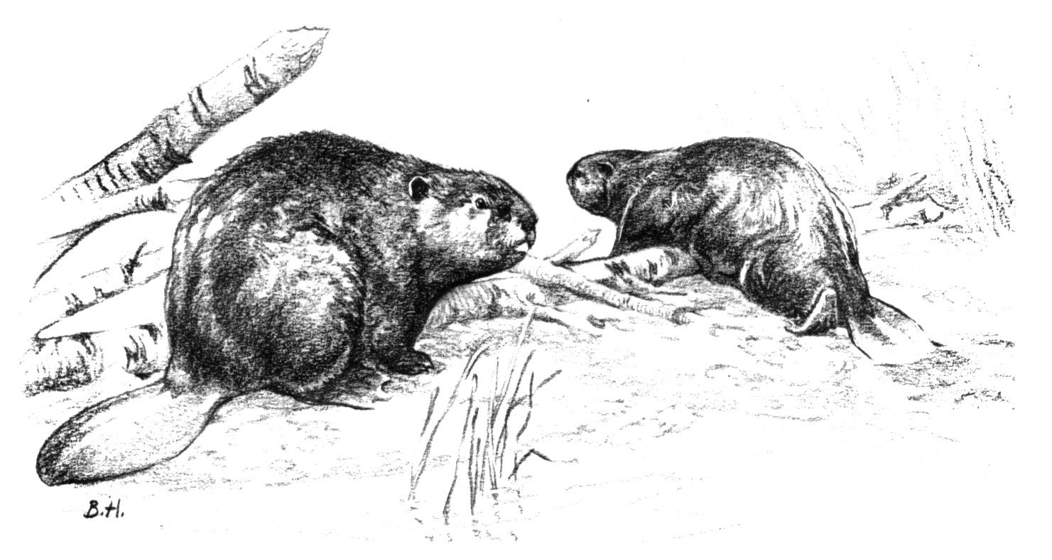 Beaver Face Coloring Page Coloring Pages