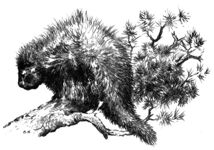 Coloring Pages Canadian Animals : Free porcupine coloring pages