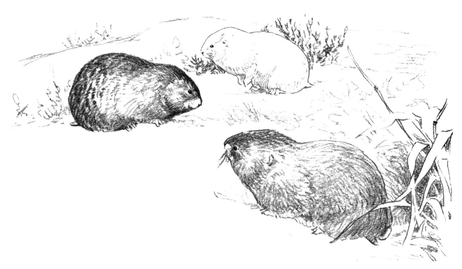 Free Prairie Dog Coloring Pages