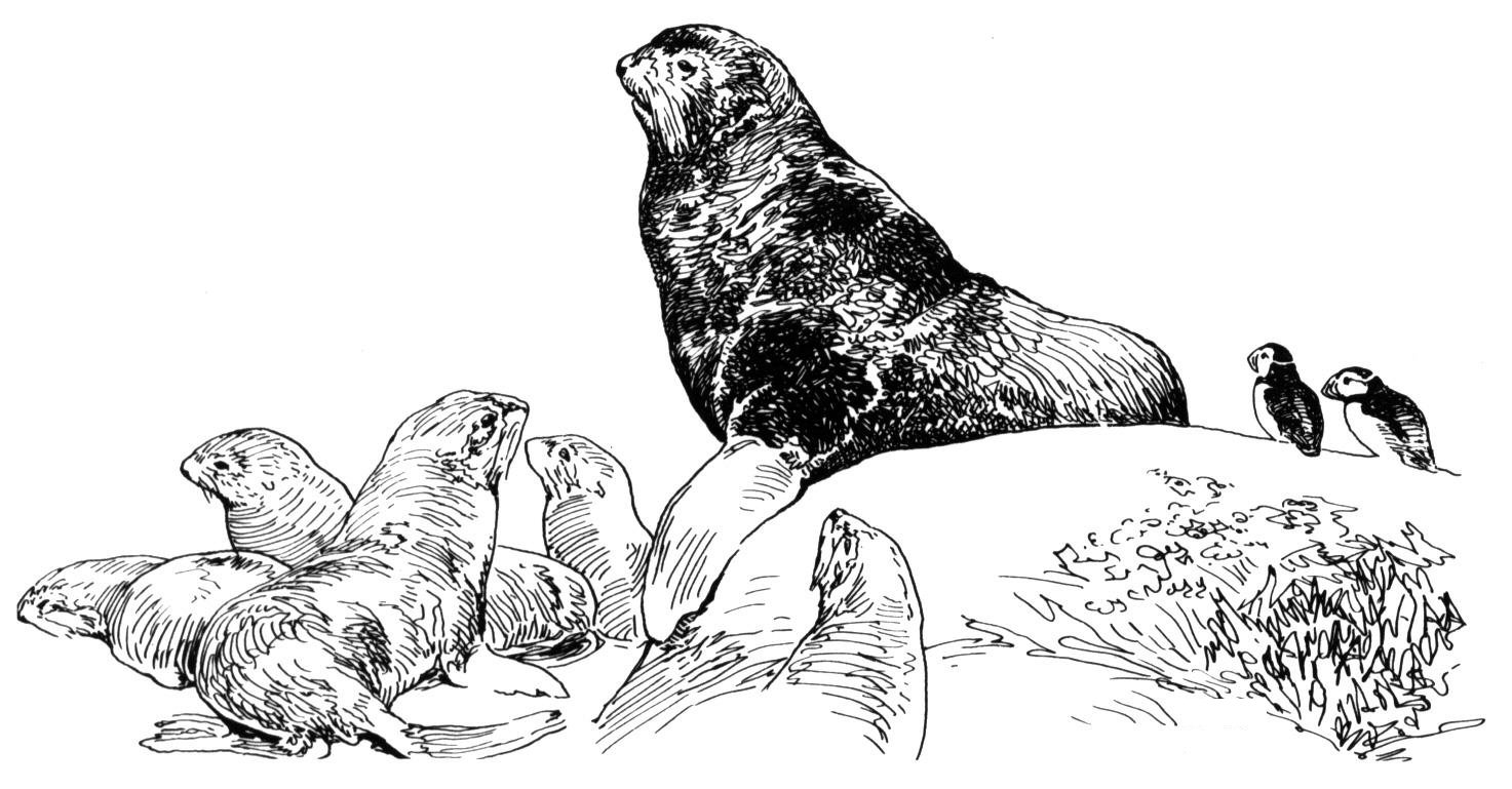 Free Sea Lion Coloring Pages