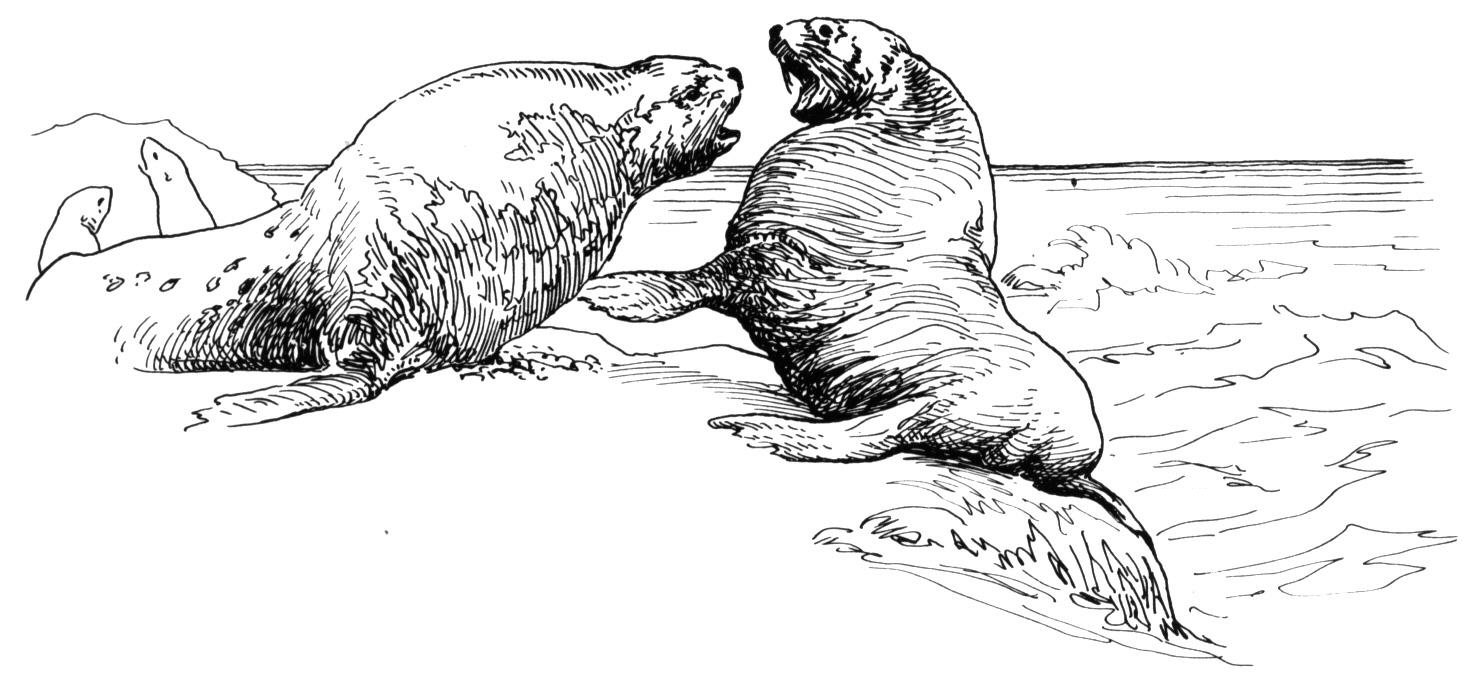 Free Walrus Coloring Pages