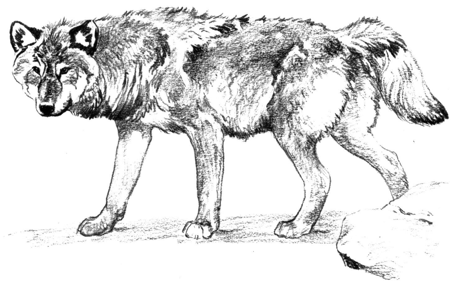 wolf coloring pages free - photo#10