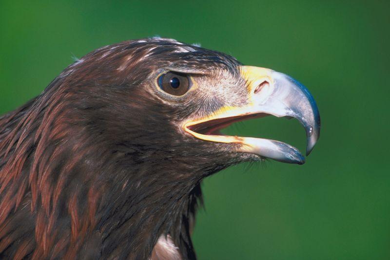 golden eagle essay