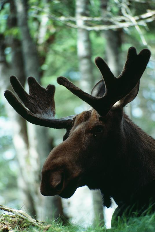 Moose Photo Gallery