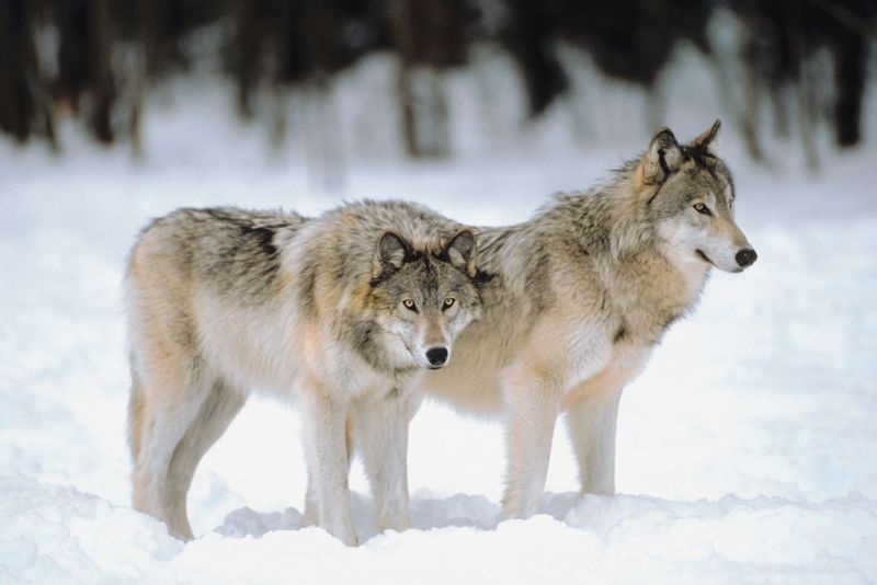 Wolf Stock Photos And Images - RF