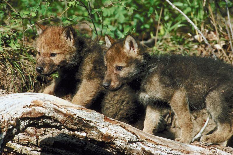 wolf photo gallery
